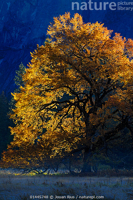 Black oak (Quercus velutina) in autumn, in Yosemite valley, Yosemite National Park, California, USA, December 2012.  ,  catalogue6,Plant,Vascular plant,Flowering plant,Rosid,Oak,Black oak tree,Plantae,Plant,Tracheophyta,Vascular plant,Magnoliopsida,Flowering plant,Angiosperm,Seed plant,Spermatophyte,Spermatophytina,Angiospermae,Fagales,Rosid,Dicot,Dicotyledon,Rosanae,Fagaceae,Quercus,Oak,Oak tree,Quercus velutina,Black oak tree,Eastern black oak,Quercus tinctoria,Quercus missouriensis,Quercus leiodermis,Quercus discolor,Atmospheric Mood,Atmospheric,Change,Changes,Changing,Transform,Transformation,Transformed,Transforming,Transforms,Mystery,Mysterious,Colour,Yellow,No One,Nobody,Americas,North America,USA,Western USA,Southwest US,California,Coloured Background,Blue Background,Vertical,Leaf,Foliage,Tree,Deciduous,Oak Tree,Oak Trees,Oaks,Outdoors,Open Air,Outside,Season,Seasons,Autumn,Autumnal,Fall,Twilight,Evening,Night,Nature,Natural,Natural World,Beauty In Nature,Reserve,Protected area,National Park,Lit Up,Tree,Trees,PLANTS  ,  Jouan Rius
