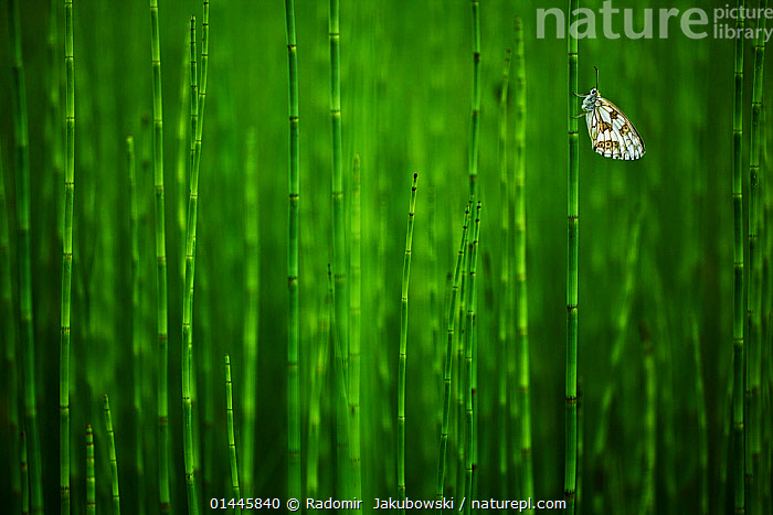 Marbled white butterfly (Melanargia galathea) on Horsetail (Equisetum), Herbitzheim near Saarbruecken, Saarland, Germany. Finalist in the Macro category and winner of the audience award in the Montphoto competition 2013. Winner of the insect category of the Melvita Nature Images Awards competition 2013. Highly commended in the Other Animals category of the GDT competition 2013.  ,  catalogue6,Plant,Vascular plant,Pteridophyte,Horsetail,Animal,Arthropod,Insect,Brushfooted butterfly,Marbled white,Plantae,Plant,Tracheophyta,Vascular plant,Equisetopsida,Pteridophyte,Equisetales,Equisetaceae,Equisetum,Horsetail,Scouring rush,Snake grass,Puzzlegrass,Animalia,Animal,Wildlife,Hexapoda,Arthropod,Invertebrate,Hexapod,Arthropoda,Insecta,Insect,Lepidoptera,Lepidopterans,Nymphalidae,Brushfooted butterfly,Fourfooted butterfly,Nymphalid,Butterfly,Papilionoidea,Melanargia,Marbled white,Satyrine,Satyrid,Brown,Satyrinae,Melanargia galathea,Papilio galathea,Waiting,Patience,Colour,Green,No One,Nobody,Size,Small,Little,Tiny,Europe,Western Europe,Germany,Saarland,Copy Space,Close Up,Side View,Outdoors,Open Air,Outside,Day,Arty shots,Negative space,Green colour  ,  Radomir  Jakubowski