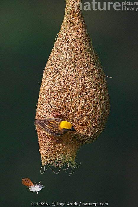 Baya weaver (Ploceus philippinus) female with nesting material (feather) dropping from nest, Singapore. (Sequence image 5 of 5)  ,  ANIMALIA,ANIMAL,WILDLIFE,VERTEBRATE,CHORDATE,AVES,BIRDS,PASSERIF,ANIMAL,VERTEBRATE,BIRDS,SONGBIRD,WEAVER,BAYA WEAVER  ,  Ingo Arndt