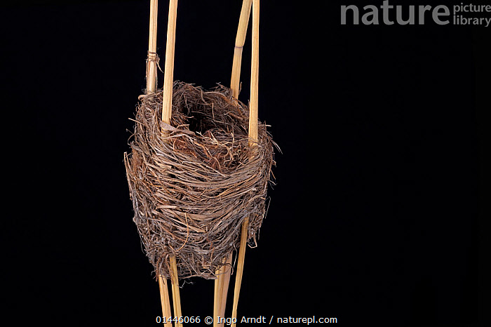 Reed Warbler (Acrocephalus scirpaceus) nest in Senckenberg Natural Hystory Collection Dresden, Germany., catalogue6,Animal,Vertebrate,Birds,Songbird,Acrocephalid warbler,Marsh warbler,Reed warbler,Animalia,Animal,Wildlife,Vertebrate,Chordate,Aves,Birds,Passeriformes,Songbird,Passerine,Acrocephalidae,Acrocephalid warbler,Warbler,Acrocephalus,Marsh warbler,Reed warbler,Acrocephalus scirpaceus,Eurasian reed warbler,Common reed warbler,European reed warbler,Balance,Resourceful,Improvisation,Improvise,Improvising,Resourcefulness,No One,Nobody,Europe,Western Europe,Germany,Saxony,Dresden,Copy Space,Cutout,Plain Background,Black Background,Horizontal,Close Up,Stalks,Building,Museum,Museums,Nest,Nests,Outdoors,Open Air,Outside,Day,Ideas,Stalk,Bookplate,Architektier,Negative space,Animal Architecture,One Object,Senckenberg,Natural Fibre,Natural History, Ingo Arndt