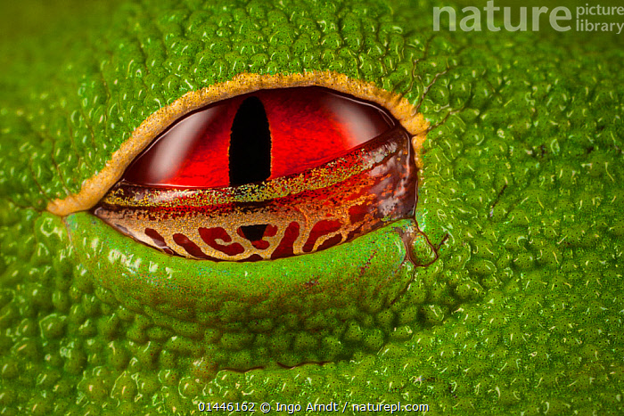 Red-eyed Tree Frog (Agalychnis callidryas) close- up of eye half open, the golden webbed semi-transparent eyelid allows to see its surrounding even while resting, Costa Rica., catalogue6,Animal,Vertebrate,Frog,Tree frog,Leaf frog,Red eyed tree frog,Animalia,Animal,Wildlife,Vertebrate,Chordate,Amphibia,Anura,Frog,Hylidae,Tree frog,Agalychnis,Leaf frog,Agalychnis callidryas,Red eyed tree frog,Agalychnis helenae,Vision,Suspicion,Colour,Green,No One,Nobody,Americas,Latin America,Central America,Costa Rica,Horizontal,Close Up,Animal Eye,Animal Eyes,Eye,Eyes,Eyesight,Sight,Abstract,Abstracts,Biodiversity hotspots,Biodiversity hotspot,Using Senses,Green colour, Ingo Arndt