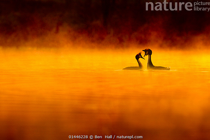 Great crested grebe (Podiceps cristatus) pair performing courtship displaying at dawn, backlit and surrounded by mist, Cheshire, UK, April. Highly honoured in the Birds Category of Nature's Best Windland Smith Rice International Awards Photography Competition 2013., high1314,Animal,Vertebrate,Bird,Birds,Grebe,Great crested grebe,Animalia,Animal,Wildlife,Vertebrate,Aves,Bird,Birds,Podicipediformes,Podicipedidae,Grebe,Podiceps,Podiceps cristatus,Great crested grebe,Courting,Atmospheric Mood,Atmospheric,Romance,Romantic,Colour,Yellow,Face To Face,Face Each Other,Facing Each Other,Two,Nobody,Europe,Western Europe,UK,Great Britain,England,Cheshire,Back Lit,Backlit,Weather,Mist,Outdoors,Open Air,Outside,Twilight,Day,Nature,Natural,Natural World,Wild,Freshwater,Lake,Water,Animal Behaviour,Mating Behaviour,Courtship,Male female pair,Behaviour,Dawn,Two animals,Negative space,Yellow Colour, Ben  Hall