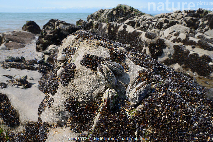 Recenty settled young Common mussels (Mytilus edulis) alongside barnacle encrusted adults on rocks exposed on a rocky shore at low tide, Rhossili, The Gower Peninsula, UK, June.  ,  ANIMALIA,ANIMAL,WILDLIFE,MOLLUSCA,MOLLUSC,BIVALVIA,BIVALVE,MYTILOIDA,MUSSEL,MYTILIDAE,MYTILUS,MYTILUS EDULIS,COMMON MUSSEL,MYTILUS ABBREVIATUS,MYTILUS BOREALIS,MYTILUS ELEGANS,GROUP OF ANIMALS,GROUP,GROUPS,EUROPE,WESTERN EUROPE,WEST EUROPE,UK,BRITAIN,GREAT BRITAIN,UNITED KINGDOM,WALES,HORIZONTAL,TIDES,LOW TIDES,TIDE OUT,MARINE,SALTWATER,SALT WATER,SEA WATER,ABERTAWE,LITTORAL,ANIMAL,MOLLUSC,BIVALVE,MUSSEL,COMMON MUSSEL,INVERTEBRATE,INVERTEBRATES,Intertidal  ,  Nick Upton