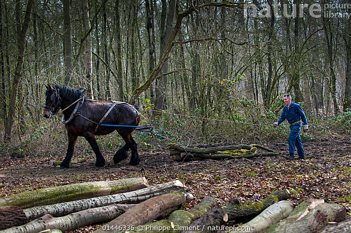 Forester dragging tree-trunks from forest with Belgian draft / draught horse (Equus caballus) Belgium. March 2013.  ,  catalogue6,Equus ferus caballus,Equus caballus,Pulling,Tugging,Dragging,Drag,Drags,Working,People,Male,Man,Mid Adult Men,Mid Adult Man,Mid Adult Men,Help,1 Person,Single,Single Person,Europe,Western Europe,Belgium,Horizontal,Animal,Plant,Tree Trunk,Industry,Industrial,Industries,Production,Natural Resources,Woodland,Domestic animal,Domestic Horse,Forest,Belgian,Domestic animals,Domesticated,Equus ferus caballus,Equus caballus,Horse,Forester  ,  Philippe Clement