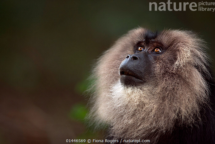 Lion-tailed macaque (Macaca silenus) male portrait. Anamalai Tiger Reserve, Western Ghats, Tamil Nadu, India.  ,  catalogue6,Animal,Vertebrate,Mammal,Monkey,Macaque,Lion tailed Macaque,Animalia,Animal,Wildlife,Vertebrate,Chordate,Mammalia,Mammal,Primate,Primates,Cercopithecidae,Monkey,Old World Monkeys,Macaca,Macaque,Papionini,Macaca silenus,Lion tailed Macaque,Liontail Macaque,Wanderoo,Macaca albibarbatus,Macaca veter,Macaca vetulus,Anticipation,Bizarre,Hope,Colour,Black,No One,Nobody,Fluffy,Soft,Softness,Asia,Indian Subcontinent,India,Copy Space,Close Up,Portrait,Male Animal,Outdoors,Open Air,Outside,Day,Reserve,Protected area,Biodiversity hotspot,Western Ghats,Biodiversity hotspots,Negative space,Anamalai Tiger Reserve,Endangered species,threatened,Endangered,Mammals  ,  Fiona Rogers