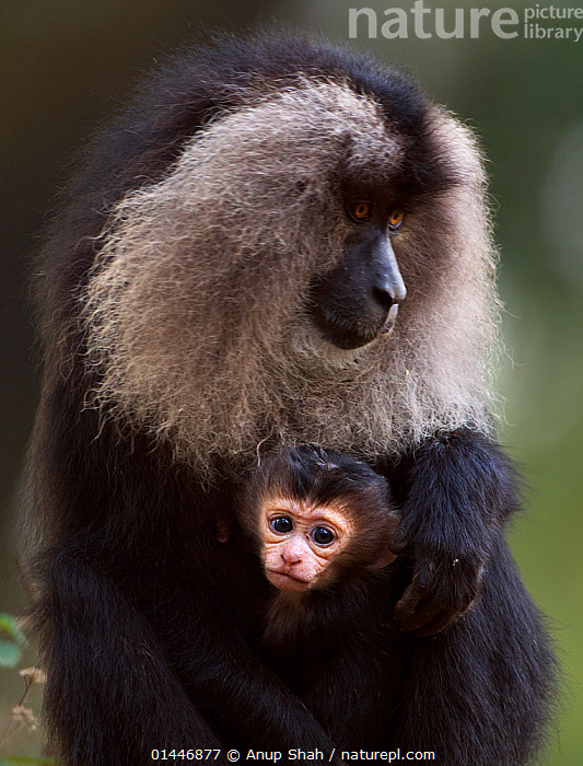 Lion-tailed macaque (Macaca silenus) female sitting with her baby aged less than 1 month. Anamalai Tiger Reserve, Western Ghats, Tamil Nadu, India.  ,  catalogue6,Animal,Vertebrate,Mammal,Monkey,Macaque,Lion tailed Macaque,Animalia,Animal,Wildlife,Vertebrate,Chordate,Mammalia,Mammal,Primate,Primates,Cercopithecidae,Monkey,Old World Monkeys,Macaca,Macaque,Papionini,Macaca silenus,Lion tailed Macaque,Liontail Macaque,Wanderoo,Macaca albibarbatus,Macaca veter,Macaca vetulus,Contrasts,Protection,Colour,Black,Grey,Gray,Two,No One,Nobody,Soft,Softness,Asia,Indian Subcontinent,India,Portrait,Young Animal,Juvenile,Babies,Female animal,Hair,Fur,Outdoors,Open Air,Outside,Day,Reserve,Family,Mother baby,Mother baby,mother,Young,Biodiversity hotspot,Western Ghats,Biodiversity hotspots,Baby,Two animals,Parent baby,Anamalai Tiger Reserve,Endangered species,threatened,Endangered,Mammals  ,  Anup Shah