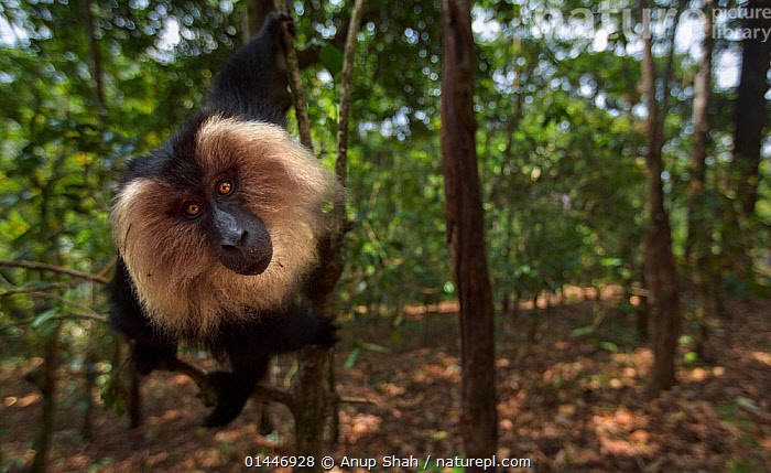 Lion-tailed macaque (Macaca silenus) sub-adult male sitting in a tree. Anamalai Tiger Reserve, Western Ghats, Tamil Nadu, India.  ,  Animalia,Animal,Wildlife,Vertebrate,Chordate,Mammalia,Mammal,Primate,Primates,Cercopithecidae,Monkey,Old World Monkeys,Macaca,Macaque,Papionini,Macaca silenus,Lion tailed Macaque,Liontail Macaque,Wanderoo,Macaca albibarbatus,Macaca veter,Macaca vetulus,Curiosity,Curious,Curiousity,Discover,Discovering,Discovery,Fascinated,Fascinating,Fascination,Inquisitive,Inquisitiveness,Interest,Interesting,Asia,Indian Subcontinent,South Asia,Southern Asia,India,Forest,Habitat,Reserve,Animal,Vertebrate,Mammal,Monkey,Macaque,Lion tailed Macaque,Endangered species,threatened,Endangered,Mammals  ,  Anup Shah