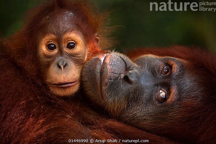 Sumatran orangutan (Pongo abelii) female 'Jaki' aged 16 years with baby daughter 'Jodi' aged 2-3 years - portrait. Gunung Leuser National Park, Sumatra, Indonesia. Rehabilitated and released (or descended from those which were released) between 1973 and 1995.  ,  catalogue6,Animal,Vertebrate,Mammal,Ape,Orangutan,Sumatran Orangutan,Animalia,Animal,Wildlife,Vertebrate,Chordate,Mammalia,Mammal,Primate,Primates,Hominidae,Ape,Greater apes,Hominoidea,Pongo,Orangutan,Orang utan,Ponginae,Pongo abelii,Sumatran Orangutan,Cute,Adorable,Togetherness,Close,Together,Two,No One,Nobody,Affection,Asia,East Asia,South East Asia,Indonesia,Close Up,Portrait,Young Animal,Juvenile,Babies,Female animal,Brown Eyes,Brown Eye,Reserve,Conservation,Animal rehabilitation,Family,Mother baby,Mother baby,mother,Young,Biodiversity hotspots,Biodiversity hotspot,Sumatra,Rehabilitation,Wildlife conservation,Protected area,National Park,Baby,Two animals,Direct Gaze,Parent baby,Gunung Leuser National Park,Rehabilitated,Endangered species,threatened,Critically endangered,Mammals,,Great apes,,,eye contact,  ,  Anup Shah