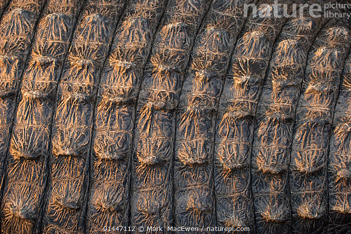 American Alligator (Alligator mississippiensis) close up of scutes / scales, Florida Everglades, Florida, USA., catalogue6,Alligator,Animalia,Vertebrate,Reptilia,Crocodylia,Alligatoridae,Alligator,Alligator mississippiensis,Repetition,Colour,Brown,No One,Nobody,Pattern,Patterned,Patterns,Natural Pattern,Natural Patterns,Rough,Coarse,Knobbed,Uneven,Americas,North America,USA,Southern USA,Southeast US,Florida,Full Frame,Close Up,Animal,Scale,Animal Scale,Scaly,Outdoors,Open Air,Outside,Day,Backgrounds,Background,Reserve,Protected area,National Park,Everglades National Park,Scutes, Mark  MacEwen