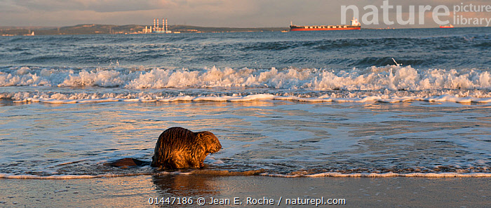 Beaver (Castor fiber) on beach, Camargue, France, November.  ,  catalogue6,Animal,Vertebrate,Mammal,Rodent,Beaver,Eurasian beaver,Animalia,Animal,Wildlife,Vertebrate,Chordate,Mammalia,Mammal,Rodentia,Rodent,Castoridae,Castor,Beaver,Castor fiber,Eurasian beaver,Walking,No One,Nobody,Wet,Europe,Western Europe,France,Bouches Du Rhone,Bouches Du Rhne,Bouches Du Rhone,Panoramic,Rear View,Back,From Behind,Boat,Boats,Industrial Ship,Cargo Ship,Cargo Boats,Cargo Ships,Coastlines,Beach,Tide,Tides,Water&#39,s Edge,Wave,Outdoors,Open Air,Outside,Day,Coast,Marine,Coastal,Working boats,Cargo boat,Saltwater,Sea,View to sea,Camargue  ,  Jean E. Roche