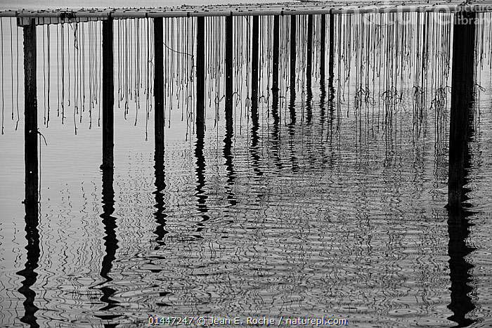 Reflections in water at mussel farm in the bay of Fos-sur-Mer, Camargue, France, September.  ,  Animal,Mollusc,Bivalve,Mussel,Common mussel,Animalia,Animal,Wildlife,Mollusca,Mollusc,Bivalvia,Bivalve,Mytiloida,Mussel,Mytilidae,Mytilus,Mytilus edulis,Common mussel,Mytilus abbreviatus,Mytilus borealis,Mytilus elegans,Europe,Western Europe,West Europe,France,Bouches Du Rhone,Bouches Du Rhne,Bouches Du Rhone,Black And White,B/W,Monochrome,Monochromatic,Light,Lights,Light Effect,Reflection,Mirror Image,Mirror Images,Reflect,Reflected,Reflecting,Reflections,Reflective,Marine,Coastal waters,Arty shots,Abstract,Arty shots,Artistic,Abstracts,Saltwater,Salt water,Sea water,Aquaculture,Aquafarming,Invertebrate,Invertebrates  ,  Jean E. Roche