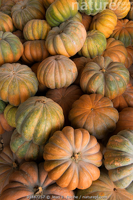 Vegetable marrows, Cidamos Garden, Alpilles, France, October.  ,  catalogue6,Plant,Vascular plant,Flowering plant,Rosid,Gourd,Plantae,Plant,Tracheophyta,Vascular plant,Magnoliopsida,Flowering plant,Angiosperm,Seed plant,Spermatophyte,Spermatophytina,Angiospermae,Cucurbitales,Rosid,Dicot,Dicotyledon,Rosanae,Cucurbitaceae,Gourd,Cucurbita,Group,Large Group,Many,No One,Nobody,Europe,Western Europe,France,Bouches Du Rhone,Bouches Du Rhne,Bouches Du Rhone,Full Frame,Close Up,Arable Plant,Arable Plants,Crops,Produce,Cultivated,Cultivation,Food,Foods,Fresh Produce,Fruit,Fruits,Gourds,Pumpkin,Pumpkins,Vegetable,Vegetables,Backgrounds,Background,Large Group of Objects,Cidamos,Alpiles,Plants  ,  Jean E. Roche