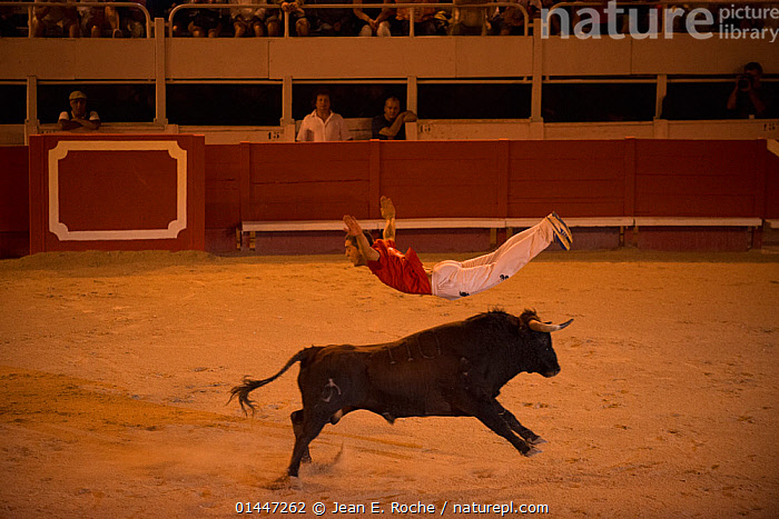 Man leaping over bull in European Bullfighting Championship 2012, Arenes d'Arles, Camargue, France, September 2012.  ,  catalogue6,Jumping,Arms Outstretched,Arm Outstretched,Arms Apart,Arms Open,Arms Out,Open Arms,Outstretched Arms,People,Adult,Adults,Mid Adult,Mid Adults,Mid Adult,Mid Adults,Male,Man,Only Men,One Man,Sports Person,Acrobat,Acrobatic,Acrobatics,Acrobats,Bullfighter,Bullfighters,Bullfighting,Matador,Matadors,Agility,Agile,Balance,Contrasts,Opposites,Performance,Entertaining,Perform,Performances,Performing,Skill,Mid Air,1 Person,Single,Single Person,Entertainment Event,Animals Fight,Bullfight,Europe,Western Europe,France,Bouches Du Rhone,Bouches Du Rhne,Bouches Du Rhone,Animal,Male Animal,Bull,Bulls,Building,Sport Venue,Venue,Venues,Bullring,Bullrings,Arles,Entertainment,,Skill, Efficiency,  ,  Jean E. Roche