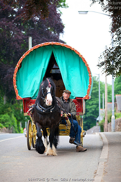 Shire horse pulling a bow top wagon, Appleby, Yorkshire, UK  ,  PULLING,PULL,TUGGING,WORKING,LABOR,PEOPLE,HUMAN,HUMANS,PERSON,PE,EQUUS FERUS CABALLUS,EQUUS CABALLUS,Europe,United Kingdom  ,  Tom  Gilks