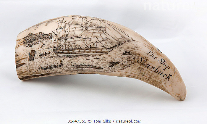 Whale tooth scrimshaw etched with whaling ship hunting and inscribed with 'The Ship Starbuck' (probably a replica).  ,  ANIMALIA,ANIMAL,WILDLIFE,VERTEBRATE,CHORDATE,MAMMALIA,MAMMAL,CET,ANIMAL,VERTEBRATE,MAMMAL,CETEACEAN  ,  Tom  Gilks