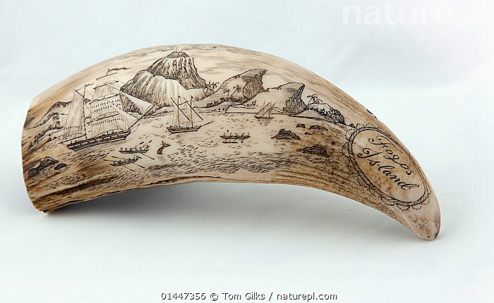 Whale tooth scrimshaw etched with whaling ships hunting and a volcano erupting on Fogos island, Cape Verde (probably a replica)  ,  ANIMALIA,ANIMAL,WILDLIFE,VERTEBRATE,CHORDATE,MAMMALIA,MAMMAL,CET,ANIMAL,VERTEBRATE,MAMMAL,CETEACEAN  ,  Tom  Gilks