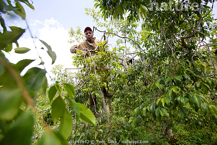 Man climbing and harvesting Khat tree (catha edulis) Meru, Kenya, catalogue6,Plant,Vascular plant,Flowering plant,Rosid,Bittersweet,Plantae,Plant,Tracheophyta,Vascular plant,Magnoliopsida,Flowering plant,Angiosperm,Seed plant,Spermatophyte,Spermatophytina,Angiospermae,Celastrales,Rosid,Dicot,Dicotyledon,Rosanae,Celastraceae,Bittersweet,Working,People,African Descent,Adult,Adults,Young Adult,Young Adults,Young People,Young Person,Male,Man,Only Men,One Man,1 Person,Single,Single Person,Africa,East Africa,Kenya,Waist Up,Half Length,Front View,View From Front,Leaf,Foliage,Treetop,Treetops,Agriculture,Catha edulis,Khat,qat,Miraa,Vegetation,Meru, Tom  Gilks