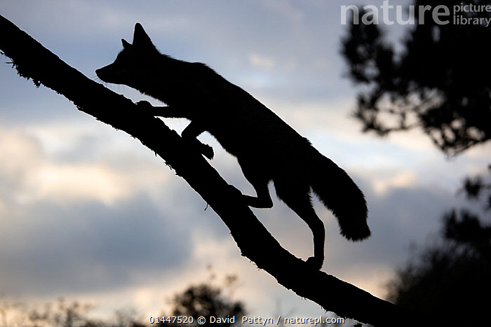 Silhouette of a Red fox (Vulpes vulpes) walking up a branch of a fallen tree, The Netherlands, August., ANIMALIA,ANIMAL,WILDLIFE,VERTEBRATE,CHORDATE,MAMMALIA,MAMMAL,CARNIVORA,CARNIVORE,CANIDAE,CANID,VULPES,TRUE FOX,VULPINI,CANINAE,VULPES VULPES,RED FOX,EUROPE,WESTERN EUROPE,WEST EUROPE,THE NETHERLANDS,HOLLAND,NETHERLANDS,PLANT,PLANTS,VEGETATION,BRANCH,BOUGH,BOUGHS,BRANCHES,SILHOUETTE,CLIMBING,CLIMB,CLIMBS,ANIMAL,VERTEBRATE,MAMMAL,CARNIVORE,CANID,TRUE FOX,RED FOX, David  Pattyn