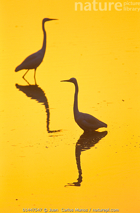 Two Great egrets (Ardea alba) wading,  silhouetted at dawn, Keoladeo National Park, Bharatpur, Rajasthan, India., catalogue6,Animal,Vertebrate,Birds,Typical heron,Great egret,Animalia,Animal,Wildlife,Vertebrate,Chordate,Aves,Birds,Pelecaniformes,Ardeidae,Ardea,Typical heron,Heron,Ardeinae,Ardea alba,Great egret,Great white egret,Large egret,Great white heron,Casmerodius albus,Egretta alba,Ignoring,Ignore,Wading,Moving Past,Pass,Passing,Passes,Contrasts,Opposites,Direction,Pride,Proud,Colour,Yellow,Two,No One,Nobody,Asia,Indian Subcontinent,India,Coloured Background,Yellow Background,Copy Space,Close Up,Back Lit,Backlit,Light,Lights,Light Effect,Reflection,Shadow,Sunrise,Sunset,Setting Sun,Sunsets,Reserve,Silhouette,Protected area,National Park,Dawn,Two animals,Rajasthan,Negative space,Bharatpur,Keoladeo,,UNESCO World Heritage Site,, Juan  Carlos Munoz