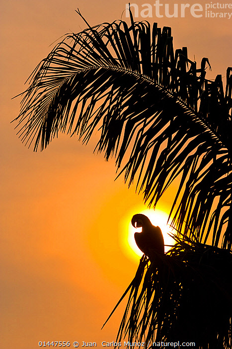 Hyacinth macaw (Anodorhynchus hyacinthinus) calling, silhouetted against the sun, Pantanal, Matto Grosso do Sul, Brazil.  ,  high1314,Animal,Vertebrate,Bird,Birds,Parrot,True parrot,Macaw,Hyacinth macaw,Pantanal wetlands,Animalia,Animal,Wildlife,Vertebrate,Aves,Bird,Birds,Psittaciformes,Parrot,Psittacines,Psittacidae,True parrot,Psittacoidea,Anodorhynchus,Macaw,Neotropical parrots,Arini,Arinae,Anodorhynchus hyacinthinus,Hyacinth macaw,Vocalisation,Waiting,Nobody,Luminosity,Glow,Glows,Americas,Latin America,South America,Brazil,Copy Space,Vertical,Close Up,Side View,Back Lit,Backlit,Plant,Leaf,Foliage,Palm Leaf,Sky,Sunrise,Sunset,Setting Sun,Sunsets,Outdoors,Open Air,Outside,Twilight,Evening,Animal Behaviour,Silhouette,Behaviour,The Sun,Negative space,Pantanal,Pantanal wetlands,Endangered species,threatened,Endangered  ,  Juan  Carlos Munoz