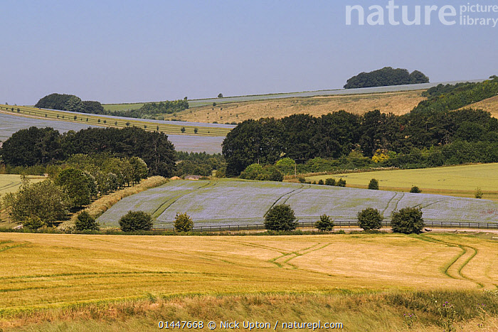 Agricultural landscape with mix of ripening Barley (Hordeum vulgare), Wheat (Triticum aestivum) and flowering Linseed (Linum usitatissimum) crops, tree belts and hillside pastureland, Marlborough Downs, Wiltshire, UK, July 2013., PLANT,VASCULAR PLANT,FLOWERING PLANT,ROSID,COMMON FLAX,MONOCOT,GRASS,BARLEY,WHEAT,PLANTAE,PLANT,TRACHEOPHYTA,VASCULAR PLANT,MAGNOLIOPSIDA,FLOWERING PLANT,ANGIOSPERM,SEED PLANT,SPERMATOPHYTE,SPERMATOPHYTINA,ANGIOSPERMAE,MALPIGHIALES,ROSID,DICOT,DICOTYLEDON,ROSANAE,LINIACEAE,LINUM,LINUM USITATISSIMUM,COMMON FLAX,CULTIVATED FLAX,LINSEED,LINIUM HUMILE,LINUM CREPITANS,LINUM INDEHISCENS,POALES,MONOCOT,MONOCOTYLEDON,LILIANAE,POACEAE,GRASS,TRUE GRASS,GRAMINEAE,HORDEUM,BARLEY,HORDEUM VULGARE,CEREAL BARLEY,COMMON BARLEY,TWO ROWED BARLEY,HORDEUM SATIVUM,HORDEUM DISTICHON,HORDEUM IRREGULARE,HORDEUM DEFICIENS,TRITICUM,WHEAT,TRITICUM AESTIVUM,COMMON WHEAT,BREAD WHEAT,TRITICUM MACHA,TRITICUM SATIVA,TRITICUM ESTIVUM,EUROPE,WESTERN EUROPE,WEST EUROPE,UK,BRITAIN,GREAT BRITAIN,UNITED KINGDOM,ENGLAND,WILTSHIRE,PLANTS,VEGETATION,ARABLE PLANT,ARABLE PLANTS,CROPS,PRODUCE,CULTIVATED,CULTIVATION,AGRICULTURAL LANDS,CULTIVATED LAND,FIELDS,NON URBAN SCENE,NON URBAN SCENE,RURAL SCENE,COUNTRY,COUNTRYSIDE,RURAL,RURAL SCENICS,LANDSCAPE,LANDSCAPES,SCENIC,ROLLING LANDSCAPE,UNDULATING LANDSCAPE,SEASON,SEASONS,SUMMER,FARMLAND, Nick Upton