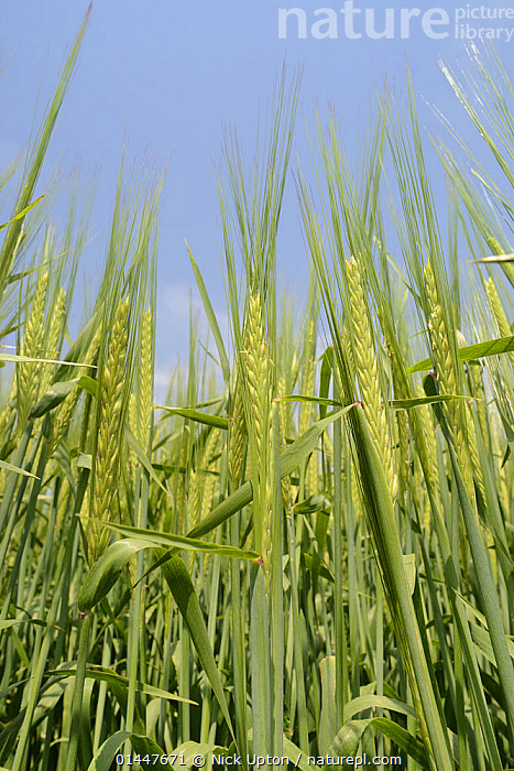 Low angle view of Ripening Barley (Hordeum vulgare), Wiltshire, UK, July., PLANT,VASCULAR PLANT,FLOWERING PLANT,MONOCOT,GRASS,BARLEY,PLANTAE,PLANT,TRACHEOPHYTA,VASCULAR PLANT,MAGNOLIOPSIDA,FLOWERING PLANT,ANGIOSPERM,SEED PLANT,SPERMATOPHYTE,SPERMATOPHYTINA,ANGIOSPERMAE,POALES,MONOCOT,MONOCOTYLEDON,LILIANAE,POACEAE,GRASS,TRUE GRASS,GRAMINEAE,HORDEUM,BARLEY,HORDEUM VULGARE,CEREAL BARLEY,COMMON BARLEY,TWO ROWED BARLEY,HORDEUM SATIVUM,HORDEUM DISTICHON,HORDEUM IRREGULARE,HORDEUM DEFICIENS,EUROPE,WESTERN EUROPE,WEST EUROPE,UK,BRITAIN,GREAT BRITAIN,UNITED KINGDOM,ENGLAND,WILTSHIRE,VERTICAL,LOW ANGLE SHOT,UPWARD VIEW,VIEW FROM BELOW,PLANTS,VEGETATION,ARABLE PLANT,ARABLE PLANTS,CROPS,PRODUCE,CULTIVATED,CULTIVATION,AGRICULTURAL LANDS,CULTIVATED LAND,NON URBAN SCENE,NON URBAN SCENE,RURAL SCENE,COUNTRY,COUNTRYSIDE,RURAL,RURAL SCENICS,SEASON,SEASONS,SUMMER,LOW ANGLE VIEW,FARMLAND, Nick Upton