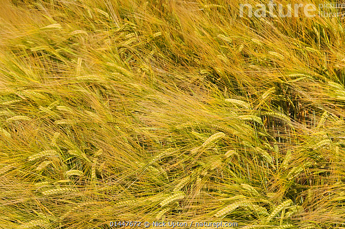 Windblown field of ripening Barley (Hordeum vulgare), Wiltshire, UK, July., PLANT,VASCULAR PLANT,FLOWERING PLANT,MONOCOT,GRASS,BARLEY,PLANTAE,PLANT,TRACHEOPHYTA,VASCULAR PLANT,MAGNOLIOPSIDA,FLOWERING PLANT,ANGIOSPERM,SEED PLANT,SPERMATOPHYTE,SPERMATOPHYTINA,ANGIOSPERMAE,POALES,MONOCOT,MONOCOTYLEDON,LILIANAE,POACEAE,GRASS,TRUE GRASS,GRAMINEAE,HORDEUM,BARLEY,HORDEUM VULGARE,CEREAL BARLEY,COMMON BARLEY,TWO ROWED BARLEY,HORDEUM SATIVUM,HORDEUM DISTICHON,HORDEUM IRREGULARE,HORDEUM DEFICIENS,EUROPE,WESTERN EUROPE,WEST EUROPE,UK,BRITAIN,GREAT BRITAIN,UNITED KINGDOM,ENGLAND,WILTSHIRE,PLANTS,VEGETATION,ARABLE PLANT,ARABLE PLANTS,CROPS,PRODUCE,CULTIVATED,CULTIVATION,AGRICULTURAL LANDS,CULTIVATED LAND,NON URBAN SCENE,NON URBAN SCENE,RURAL SCENE,COUNTRY,COUNTRYSIDE,RURAL,RURAL SCENICS,SEASON,SEASONS,SUMMER,FARMLAND, Nick Upton