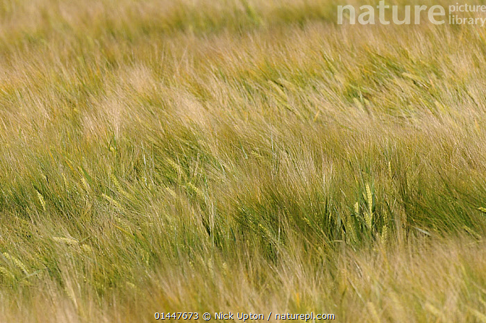 Ripening Barley (Hordeum vulgare) crop rippled by gusts of wind, Wiltshire, UK, July., Plant,Vascular plant,Flowering plant,Monocot,Grass,Barley,Plantae,Plant,Tracheophyta,Vascular plant,Magnoliopsida,Flowering plant,Angiosperm,Seed plant,Spermatophyte,Spermatophytina,Angiospermae,Poales,Monocot,Monocotyledon,Lilianae,Poaceae,Grass,True grass,Gramineae,Hordeum,Barley,Hordeum vulgare,Cereal barley,Common barley,Two rowed barley,Hordeum sativum,Hordeum distichon,Hordeum irregulare,Hordeum deficiens,Europe,Western Europe,West Europe,UK,Britain,Great Britain,United Kingdom,England,Wiltshire,Plants,Vegetation,Arable Plant,Arable Plants,Crops,Produce,Cultivated,Cultivation,Agricultural Lands,Cultivated Land,Non Urban Scene,Non Urban Scene,Rural Scene,Country,Countryside,Rural,Rural Scenics,Season,Seasons,Summer,Farmland, Nick Upton
