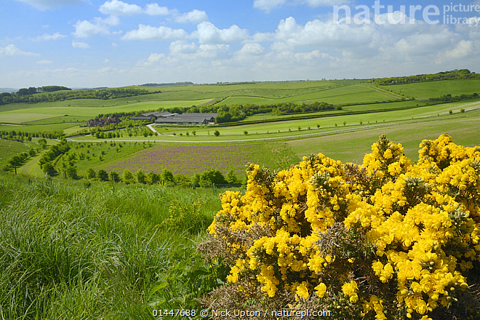 Farmland with mix of rough pasture with flowering European gorse (Ulex europaeus), Red campion (Silene dioica) flowering in a pollen and nectar flower mix patch, arable fields and farm buildings, Marlborough Downs, Wiltshire, UK, June.  ,  Plant,Vascular plant,Flowering plant,Rosid,Legume,Gorse,Plantae,Plant,Tracheophyta,Vascular plant,Magnoliopsida,Flowering plant,Angiosperm,Seed plant,Spermatophyte,Spermatophytina,Angiospermae,Fabales,Rosid,Dicot,Dicotyledon,Rosanae,Fabaceae,Legume,Pea,Bean,Leguminosae,Ulex,Gorse,Broom,Genisteae,Cytiseae,Ulex europaeus,Common gorse,Furze,Whin,Ulex armoricanus,Ulex floridus,Ulex major,Europe,Western Europe,West Europe,UK,Britain,Great Britain,United Kingdom,England,Wiltshire,Plants,Vegetation,Wildflowers,Flowering,Flowers,Agricultural Lands,Cultivated Land,Non Urban Scene,Non Urban Scene,Rural Scene,Country,Countryside,Rural,Rural Scenics,Landscape,Landscapes,Scenic,Season,Seasons,Summer,Environment,Environmental Issues,Environmental Issue,Environmental,Conservation,Farmland  ,  Nick Upton