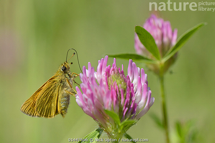 Large skipper (Ochlodes sylvanus) nectaring on Red clover flower (Trifolium pratense), Wiltshire farmland, UK, July.  ,  PLANT,VASCULAR PLANT,FLOWERING PLANT,ROSID,LEGUME,CLOVER,RED CLOVER,ANIMAL,ARTHROPOD,INSECT,SKIPPER,LARGE SKIPPER,PLANTAE,PLANT,TRACHEOPHYTA,VASCULAR PLANT,MAGNOLIOPSIDA,FLOWERING PLANT,ANGIOSPERM,SEED PLANT,SPERMATOPHYTE,SPERMATOPHYTINA,ANGIOSPERMAE,FABALES,ROSID,DICOT,DICOTYLEDON,ROSANAE,FABACEAE,LEGUME,PEA,BEAN,LEGUMINOSAE,TRIFOLIUM,CLOVER,TRIFOLIUM PRATENSE,RED CLOVER,TRIFOLIUM BORYSTHENICUM,TRIFOLIUM BRACTEATUM,TRIFOLIUM UKRAINICUM,ANIMALIA,ANIMAL,WILDLIFE,HEXAPODA,ARTHROPOD,INVERTEBRATE,HEXAPOD,ARTHROPODA,INSECTA,INSECT,LEPIDOPTERA,LEPIDOPTERANS,HESPERIIDAE,SKIPPER,SKIPPER BUTTERFLY,BUTTERFLY,HESPERIOIDEA,OCHLODES,OCHLODES SYLVANUS,LARGE SKIPPER,PAPILIO SYLVANUS,PAPILIO MELICERTA,OCHLODES VENATUS,EUROPE,WESTERN EUROPE,WEST EUROPE,UK,BRITAIN,GREAT BRITAIN,UNITED KINGDOM,ENGLAND,WILTSHIRE,PLANTS,VEGETATION,FLOWERING,FLOWERS,AGRICULTURAL LANDS,CULTIVATED LAND,NON URBAN SCENE,NON URBAN SCENE,RURAL SCENE,COUNTRY,COUNTRYSIDE,RURAL,RURAL SCENICS,FARMLAND  ,  Nick Upton