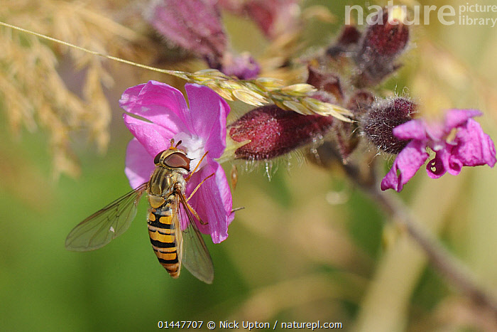 Marmalade Hover fly (Episyrphus balteatus) feeding on Red campion flower (Silene dioica) in a pollen and nectar flower mix strip bordering a barley field, Marlborough Downs, Wiltshire, UK, July., PLANT,VASCULAR PLANT,FLOWERING PLANT,DICOT,PINK,RED CAMPION,ANIMAL,ARTHROPOD,INSECT,TRUE FLY,HOVERFLY,MARMALADE HOVERFLY,PLANTAE,PLANT,TRACHEOPHYTA,VASCULAR PLANT,MAGNOLIOPSIDA,FLOWERING PLANT,ANGIOSPERM,SEED PLANT,SPERMATOPHYTE,SPERMATOPHYTINA,ANGIOSPERMAE,CARYOPHYLLALES,DICOT,DICOTYLEDON,CARYOPHYLLANAE,CENTROSPERMAE,CARYOPHYLLACEAE,PINK,CARNATION,SILENE,SILENE DIOICA,RED CAMPION,RED CATCHFLY,LYCHNIS DIOICA,MELANDRIUM DIOICUM,MELANDRIUM RUBRUM,ANIMALIA,ANIMAL,WILDLIFE,HEXAPODA,ARTHROPOD,INVERTEBRATE,HEXAPOD,ARTHROPODA,INSECTA,INSECT,DIPTERA,TRUE FLY,FLY,SYRPHIDAE,HOVERFLY,HOVER FLY,FLOWER FLY,SYRPHID FLY,SYRPHOIDEA,MUSCOMORPHA,BRACHYCERA,EPISYRPHUS,EPISYRPHUS BALTEATUS,MARMALADE HOVERFLY,MIGRANT HOVER FLY,SYRPHUS BALTEATUS,MUSCA SCITULUS,EPISTROPHE BALTEATA,BIOLOGICAL PROCESS,POLLINATION,POLLINATE,POLLINATES,POLLINATING,COLOUR,EUROPE,WESTERN EUROPE,WEST EUROPE,UK,BRITAIN,GREAT BRITAIN,UNITED KINGDOM,ENGLAND,WILTSHIRE,PLANTS,VEGETATION,FLOWERING,FLOWERS,AGRICULTURAL LANDS,CULTIVATED LAND,NON URBAN SCENE,NON URBAN SCENE,RURAL SCENE,COUNTRY,COUNTRYSIDE,RURAL,RURAL SCENICS,SEASON,SEASONS,SUMMER,ENVIRONMENT,ENVIRONMENTAL ISSUES,ENVIRONMENTAL ISSUE,ENVIRONMENTAL,ANIMAL BEHAVIOUR,FEEDING,CONSERVATION,BEHAVIOUR,FEEDS,EATING,EATS,EAT,FEED,FARMLAND,COLOR, Nick Upton