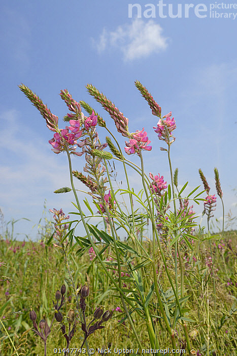 Low angle view of Common sainfoin (Onobrychis viciifolia) flowering in a pollen and nectar flower mix strip bordering a Barley crop (Hordeum vulgare), Marlborough Downs, Wiltshire, UK, July., PLANT,VASCULAR PLANT,FLOWERING PLANT,ROSID,LEGUME,SAINFOIN,MONOCOT,GRASS,BARLEY,COMMON SAINFOIN,PLANTAE,PLANT,TRACHEOPHYTA,VASCULAR PLANT,MAGNOLIOPSIDA,FLOWERING PLANT,ANGIOSPERM,SEED PLANT,SPERMATOPHYTE,SPERMATOPHYTINA,ANGIOSPERMAE,FABALES,ROSID,DICOT,DICOTYLEDON,ROSANAE,FABACEAE,LEGUME,PEA,BEAN,LEGUMINOSAE,ONOBRYCHIS,SAINFOIN,POALES,MONOCOT,MONOCOTYLEDON,LILIANAE,POACEAE,GRASS,TRUE GRASS,GRAMINEAE,HORDEUM,BARLEY,HORDEUM VULGARE,CEREAL BARLEY,COMMON BARLEY,TWO ROWED BARLEY,HORDEUM SATIVUM,HORDEUM DISTICHON,HORDEUM IRREGULARE,HORDEUM DEFICIENS,COLOUR,PINK,EUROPE,WESTERN EUROPE,WEST EUROPE,UK,BRITAIN,GREAT BRITAIN,UNITED KINGDOM,ENGLAND,WILTSHIRE,VERTICAL,PLANTS,VEGETATION,WILDFLOWERS,FLOWERING,FLOWERS,AGRICULTURAL LANDS,CULTIVATED LAND,NON URBAN SCENE,NON URBAN SCENE,RURAL SCENE,COUNTRY,COUNTRYSIDE,RURAL,RURAL SCENICS,SEASON,SEASONS,SUMMER,ENVIRONMENT,ENVIRONMENTAL ISSUES,ENVIRONMENTAL ISSUE,ENVIRONMENTAL,CONSERVATION,FARMLAND,COLOR,COMMON SAINFOIN, Nick Upton
