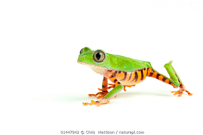 Barred leaf frog (Phyllomedusa tomopterna) captive from South America., catalogue6,Animal,Vertebrate,Frog,Tree frog,Leaf frog,Monkey frog,Animalia,Animal,Wildlife,Vertebrate,Chordate,Amphibia,Anura,Frog,Hylidae,Tree frog,Phyllomedusa,Leaf frog,Phyllomedusa tomopterna,Monkey frog,Walking,Caution,Cute,Adorable,Direction,Uncertain,Indecisive,Unsure,Colour,Green,No One,Nobody,Vibrant Colour,Vibrant Color,Vibrant,Latin America,South America,Cutout,Plain Background,White Background,Profile,Close Up,Portrait,Animal Eye,Animal Eyes,Eye,Eyes,Indoors,Studio Shot,Studio Shots,Green colour, Chris  Mattison