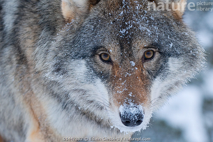 RF- Close-up portrait of a European grey wolf (Canis lupus), captive, Norway, February.  ,  RF16Q4,,Animal,Vertebrate,Mammal,Carnivore,Canid,Grey Wolf,Animalia,Animal,Wildlife,Vertebrate,Mammalia,Mammal,Carnivora,Carnivore,Canidae,Canid,Canis,Canis lupus,Grey Wolf,Common Wolf,Gray Wolf,Wolf,Compassionate,Consolation,Kindness,Kind,Sadness,Nobody,Europe,Northern Europe,North Europe,Nordic Countries,Scandinavia,Norway,Full Frame,Close Up,Front View,Portrait,Hair,Fur,Snow,Winter,Day,Nature,Direct Gaze,Animal Hair,RF,Royalty free,RFCAT1,RF16Q4  ,  Edwin  Giesbers