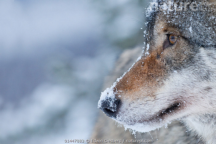 RF- Close-up portrait of a European grey wolf (Canis lupus), captive, Norway, February. (This image may be licensed either as rights managed or royalty free.)  ,  RF16Q4,,Animal,Vertebrate,Mammal,Carnivore,Canid,Grey Wolf,Animalia,Animal,Wildlife,Vertebrate,Mammalia,Mammal,Carnivora,Carnivore,Canidae,Canid,Canis,Canis lupus,Grey Wolf,Common Wolf,Gray Wolf,Wolf,Covering,Thoughtful,Waiting,Alertness,Nobody,Temperature,Cold,Europe,Northern Europe,North Europe,Nordic Countries,Scandinavia,Norway,Copy Space,Profile,Close Up,Side View,Portrait,Snow,Winter,Day,Nature,Negative space,RF,Royalty free,RFCAT1,RF16Q4  ,  Edwin  Giesbers