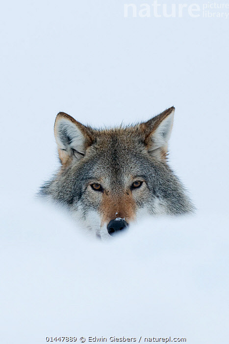 RF- Portrait of a European grey wolf (Canis lupus) in snow, captive, Norway, February. (This image may be licensed either as rights managed or royalty free.)  ,  RF16Q4,,Animal,Vertebrate,Mammal,Carnivore,Canid,Grey Wolf,Animalia,Animal,Wildlife,Vertebrate,Mammalia,Mammal,Carnivora,Carnivore,Canidae,Canid,Canis,Canis lupus,Grey Wolf,Common Wolf,Gray Wolf,Wolf,Alertness,Suspicion,Colour,White,Nobody,Part Of,Europe,Northern Europe,North Europe,Nordic Countries,Scandinavia,Norway,Copy Space,Cutout,Plain Background,White Background,Vertical,Portrait,Ear,Animal Ears,Ears,Snow,Season,Winter,Day,Nature,Direct Gaze,Using Senses,RF,Royalty free,RFCAT1,RF16Q4  ,  Edwin  Giesbers