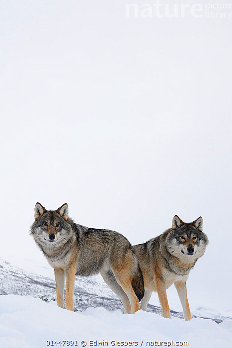 RF- Two European grey wolves (Canis lupus) in snow, captive, Norway, February. (This image may be licensed either as rights managed or royalty free.)  ,  RF16Q4,,Animal,Vertebrate,Mammal,Carnivore,Canid,Grey Wolf,Animalia,Animal,Wildlife,Vertebrate,Mammalia,Mammal,Carnivora,Carnivore,Canidae,Canid,Canis,Canis lupus,Grey Wolf,Common Wolf,Gray Wolf,Wolf,Alertness,Partnership,Uncertain,Unsure,Suspicion,Colour,White,Two,Nobody,Europe,Northern Europe,North Europe,Nordic Countries,Scandinavia,Norway,Copy Space,Vertical,Hill,Snow,Season,Winter,Day,Nature,Two animals,Direct Gaze,Negative space,Aware,RF,Royalty free,RFCAT1,RF16Q4  ,  Edwin  Giesbers