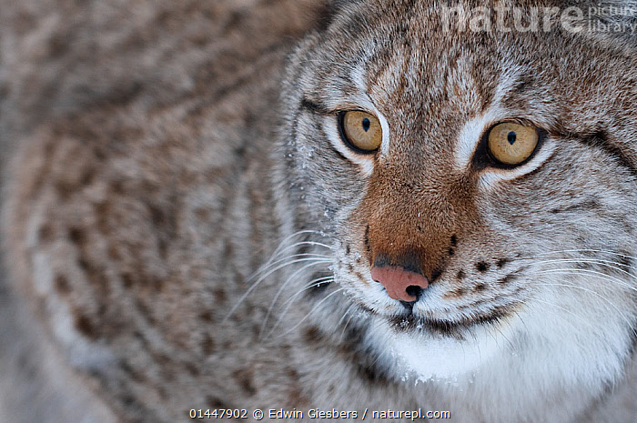 RF- Head portrait of a European lynx (Lynx lynx), captive, Norway, February. (This image may be licensed either as rights managed or royalty free.)  ,  RF16Q4,,Animal,Vertebrate,Mammal,Carnivore,Cat,Lynx,Animalia,Animal,Wildlife,Vertebrate,Mammalia,Mammal,Carnivora,Carnivore,Felidae,Cat,Lynx,Lynx lynx,Felis lynx,Glance,Glances,Glancing,Look Away,Looks Away,Alertness,Surprise,Anticipation,Nobody,Europe,Northern Europe,North Europe,Nordic Countries,Scandinavia,Norway,Full Frame,Close Up,Portrait,Animal Nose,Nose,Noses,Hair,Fur,Day,Nature,Whiskers,Animal Hair,RF,Royalty free,RFCAT1,RF16Q4  ,  Edwin  Giesbers