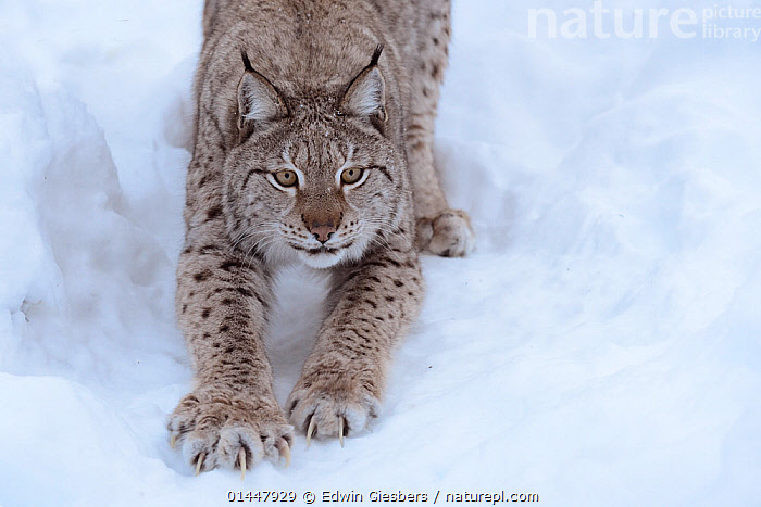 RF- European lynx (Lynx lynx) stretching, captive, Norway, February. (This image may be licensed either as rights managed or royalty free.)  ,  RF16Q4,,Animal,Vertebrate,Mammal,Carnivore,Cat,Lynx,Animalia,Animal,Wildlife,Vertebrate,Mammalia,Mammal,Carnivora,Carnivore,Felidae,Cat,Lynx,Lynx lynx,Felis lynx,Stretching,Preparation,Nobody,Europe,Northern Europe,North Europe,Nordic Countries,Scandinavia,Norway,Close Up,Front View,Animal Feet,Feet,Foot,Paw,Paws,Claw,Claws,Snow,Season,Winter,Day,Nature,Direct Gaze,RF,Royalty free,RFCAT1,RF16Q4,  ,  Edwin  Giesbers
