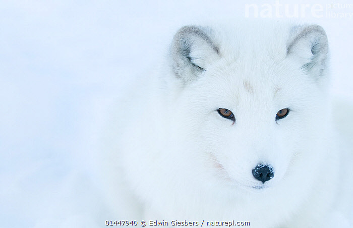 Artic fox (Vulpes lagopus) portrait, captive, Norway, February., catalogue6,Animal,Vertebrate,Mammal,Carnivore,Canid,True fox,Arctic fox,Animalia,Animal,Wildlife,Vertebrate,Chordate,Mammalia,Mammal,Carnivora,Carnivore,Canidae,Canid,Vulpes,True fox,Vulpini,Caninae,Vulpes lagopus,Arctic fox,Polar fox,Blue fox,Ice fox,White fox,Alopex lagopus,Canis lagopus,Camouflage,Colour,White,No One,Nobody,Europe,Northern Europe,North Europe,Nordic Countries,Scandinavia,Norway,Copy Space,Close Up,Front View,View From Front,Portrait,Ear,Animal Ears,Ears,Snow,Outdoors,Open Air,Outside,Season,Seasons,Winter,Day,Direct Gaze,Negative space,White colour,Ears Pricked, Edwin  Giesbers