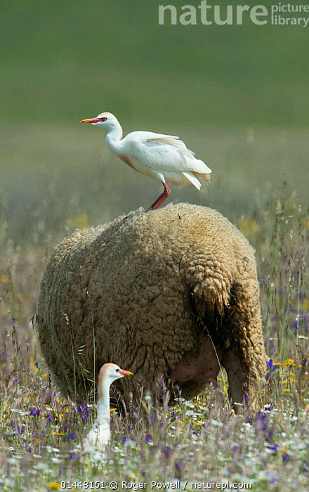 Cattle egret (Bubulcus ibis) perched on the back of a sheep, with another on the ground, Castro Verde, Alentejo, Portugal, April., catalogue6,Animal,Vertebrate,Birds,Cattle egret,Animalia,Animal,Wildlife,Vertebrate,Chordate,Aves,Birds,Pelecaniformes,Ardeidae,Bubulcus,Cattle egret,Egret,Heron,Ardeinae,Bubulcus ibis,Buff backed heron,Standing,Annoy,Annoyed,Annoying,Irritation,Irritated,Irritating,Mischief,Few,Three,Two,Group,No One,Nobody,Europe,Southern Europe,South Europe,Iberian Peninsula,Portugal,Vertical,Rear View,Back,From Behind,Animal Backs,Backs,Cultivated Land,Fields,Outdoors,Open Air,Outside,Day,Grassland,Steppe,Domestic animal,Domestic animals,Farmland,Domesticated,Ovis aries,Three Animals,Aggravating,Sheep,Castro Verde,Alentejo, Roger Powell