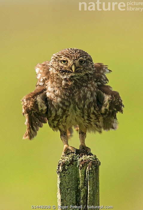 Little owl (Athene noctua) perched on a fence post, ruffling its feathers, Castro Verde, Alentejo, Portugal, April.  ,  catalogue6,Animal,Vertebrate,Birds,Owl,True owl,Little owl,Animalia,Animal,Wildlife,Vertebrate,Chordate,Aves,Birds,Strigiformes,Owl,Bird of prey,Strigidae,True owl,Typical owl,Striginae,Athene,Athene noctua,Little owl,Grooming,Preen,Preens,Humorous,Uncertain,Indecisive,Unsure,No One,Nobody,Fluffy,Size,Small,Little,Tiny,Europe,Southern Europe,South Europe,Iberian Peninsula,Portugal,Vertical,Front View,View From Front,Feather,Feathers,Boundary,Fence,Outdoors,Open Air,Outside,Day,Animal Behaviour,Behaviour,Plumage,Direct Gaze,Fence Post,Castro Verde,Alentejo,Ruffling,Concepts  ,  Roger Powell