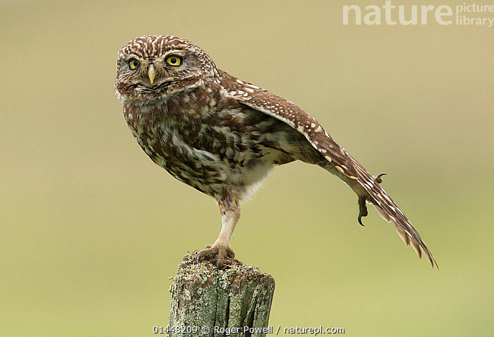 Little owl (Athene noctua) perched on a fence post, stretching its wings, Castro Verde, Alentejo, Portugal, April.  ,  catalogue6,Animal,Vertebrate,Birds,Owl,True owl,Little owl,Animalia,Animal,Wildlife,Vertebrate,Chordate,Aves,Birds,Strigiformes,Owl,Bird of prey,Strigidae,True owl,Typical owl,Striginae,Athene,Athene noctua,Little owl,Grooming,Preen,Preens,Stretching,Alertness,Alert,Balance,Choice,Alternative,Choices,Decisions,Colour,Brown,No One,Nobody,Europe,Southern Europe,South Europe,Iberian Peninsula,Portugal,Profile,Close Up,Side View,Wing,Wings,Boundary,Fence,Grassland,Steppe,Animal Behaviour,Behaviour,Yellow Eyes,Eye colour,Fence Post,Castro Verde,Alentejo  ,  Roger Powell
