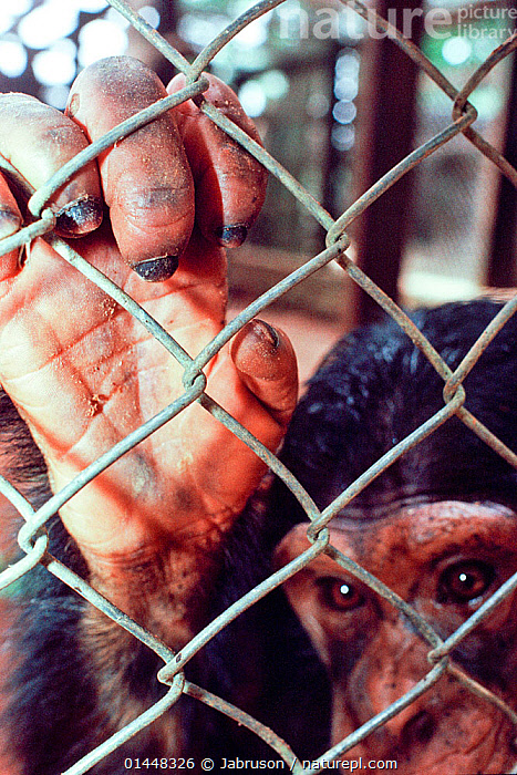 Chimpanzee (Pan troglodytes schweinfurthii) in cage, confiscated from poachers, housed in Epulu, Okapi Wildlife Reserve, Orientale Province, North-East, Democratic Republic of Congo, catalogue6,Animal,Vertebrate,Mammal,Ape,Chimpanzee,Eastern chimpanzee,Animalia,Animal,Wildlife,Vertebrate,Chordate,Mammalia,Mammal,Primate,Primates,Hominidae,Ape,Greater apes,Hominoidea,Pan,Chimpanzee,Pan troglodytes,Common Chimpanzee,Robust Chimpanzee,Illegal,Loneliness,Alone,Lonely,Depressed,Trapped,Inside,No One,Nobody,Africa,Central Africa,Democratic Republic of the Congo,Close Up,Camera Focus,Selective Focus,Focus On Foreground,Focus On Foregrounds,Young Animal,Juvenile,Animal Limbs,Limb,Limbs,Animal Feet,Feet,Foot,Paw,Paws,Animal Hands,Hand,Hands,Animal Fingers,Finger,Fingers,Brown Eyes,Brown Eye,Cage,Cages,Day,Nature,Natural,Natural World,Nature Reserve,Wildlife Reserve,Captivity,Conservation,Young,Poaching,Eastern chimpanzee,Protected area,Digit,Digits,Shallow depth of field,Low depth of field,Confiscated,Epulu,Okapi Wildlife Reserve,Orientale Province,Endangered species,Endangered,Threatened,Mammals,,Great apes,, Jabruson