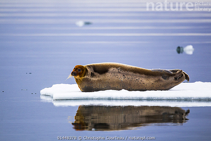 Bearded seal (Erignathus barbatus) hauled out on an ice floe in a fjord, Sptizbergen, Svalbard, Norway, June.  ,  ANIMAL,VERTEBRATE,MAMMAL,CARNIVORE,TRUE SEAL,BEARDED SEAL,ANIMALIA,ANIMAL,WILDLIFE,VERTEBRATE,CHORDATE,MAMMALIA,MAMMAL,CARNIVORA,CARNIVORE,PHOCIDAE,TRUE SEAL,PINNIPEDS,PINNIPEDIA,ERIGNATHUS,ERIGNATHUS BARBATUS,BEARDED SEAL,PHOCA BARBATA,EUROPE,NORTHERN EUROPE,NORTH EUROPE,NORDIC COUNTRIES,SCANDINAVIA,SKANDINAVIA,NORWAY,SVALBARD,ARCTIC,POLAR,ARCTIC CIRCLE,PROFILE,PROFILE VIEW,PROFILES,COASTLINE,COASTLINES,LIGHT,LIGHTS,LIGHT EFFECT,REFLECTION,MIRROR IMAGE,MIRROR IMAGES,REFLECT,REFLECTED,REFLECTING,REFLECTIONS,REFLECTIVE,ICE,OCEAN,OCEANS,ATLANTIC OCEAN,COAST,COASTAL,MARINE,Mammals,CARNIVORES  ,  Christophe Courteau