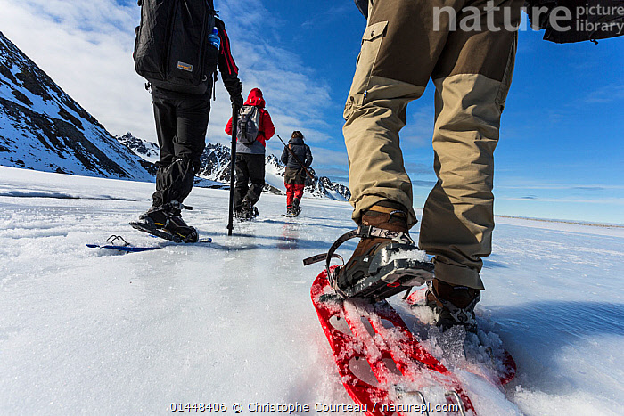 Tourists and guide using snowshoes on an ecotourism trekking holiday, Svalbard, Norway, June, 2012. Model released.  ,  catalogue6,Moving After,Following,Follow,Follows,Walking,People,European Descent,Caucasian Ethnicity,Guide,Guides,Recreation Role,Tourist,Tourists,Adventure,Adventures,Adventurous,Guidance,Guiding,On The Move,Group Of People,Small Group Of People,Few,4 People,Europe,Northern Europe,North Europe,Nordic Countries,Scandinavia,Norway,Svalbard,Arctic,Polar,Arctic Circle,Low Section,Low Sections,Rear View,Back,From Behind,Animal,Equipment,Weaponry,Weapon,Weapons,Firearm,Firearms,Gun,Guns,Rifle,Ice,Snow,Outdoors,Open Air,Outside,Exploration,Sport,Sports,Winter Sport,Winter Sports,Skiing,Ski,Skis,Travel,Vacations,Tourism,Snowshoe,The Unknown,Moving  ,  Christophe Courteau