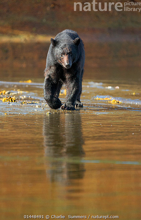 Black Bear (Ursus americanus) hunting for spawning Salmon during low tide, Neets Creek estuary, Alaska, July.  ,  catalogue6,Animal,Vertebrate,Mammal,Carnivore,Bear,Black bear,Animalia,Animal,Wildlife,Vertebrate,Chordate,Mammalia,Mammal,Carnivora,Carnivore,Ursidae,Bear,Ursus,Ursus americanus,Black bear,Euarctos americanus,Determination,Stealth,No One,Nobody,Americas,North America,USA,Western USA,Alaska,Portrait,Coastlines,Light,Lights,Light Effect,Reflection,Flowing Water,Stream,Creek,Creeks,Streams,Tide,Tides,Low Tide,Tide Out,Water&#39,s Edge,Outdoors,Open Air,Outside,Day,Coast,Freshwater,Estuary,Coastal,Animal Behaviour,Predation,Hunting,Behaviour,Fed up,Bad mood,Neets Creek,Endangered species,threatened,Vulnerable  ,  Charlie  Summers