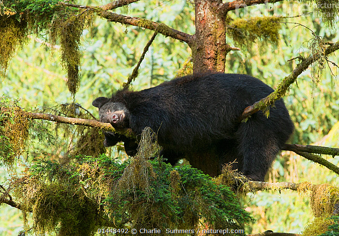 Black Bear (Ursus americanus) sleeping in a Sitka Spruce tree (Picea sitchensis) alongside Anan Creek, Alaska, July.  ,  catalogue6,Plant,Vascular plant,Conifer,Spruce tree,Sitka spruce tree,Animal,Vertebrate,Mammal,Carnivore,Bear,Black bear,Plantae,Plant,Tracheophyta,Vascular plant,Pinopsida,Conifer,Gymnosperm,Spermatophyte,Pinophyta,Coniferophyta,Coniferae,Spermatophytina,Gymnospermae,Pinales,Pinaceae,Picea,Spruce tree,Spruce,Picea sitchensis,Sitka spruce tree,Yellow spruce,Tideland spruce,Coast spruce,Pinus sitchensis,Sequoia rafinesquei,Picea menziesii,Animalia,Animal,Wildlife,Vertebrate,Chordate,Mammalia,Mammal,Carnivora,Carnivore,Ursidae,Bear,Ursus,Ursus americanus,Black bear,Euarctos americanus,Lying down,Lying On Front,Lay On Front,Laying On Front,Lays On Front,Lies On Front,Resting,Rest,Sleeping,Bizarre,Humorous,Laziness,Lazy,Lethargic,Lethargy,Colour,Brown,No One,Nobody,Americas,North America,USA,Western USA,Alaska,Branch,Branches,Tree,Outdoors,Open Air,Outside,Day,Woodland,Rainforest,Temperate rainforest,Anan Creek,Endangered species,threatened,Vulnerable,Tree,Trees,Concepts,PLANTS  ,  Charlie  Summers