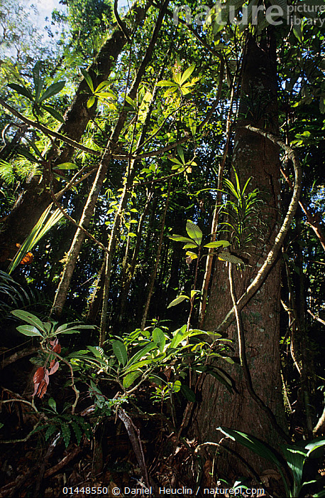 Primary forest, New Caledonia., catalogue6,Origins,Evolutionary,Growth,Grow,Growing,Grows,No One,Nobody,Oceania,Vertical,Close Up,Low Angle View,Plant,Leaf,Foliage,Tree,Light,Lights,Sunlight,Outdoors,Open Air,Outside,Day,Backgrounds,Background,Woodland,Forest,New Caledonia,Biodiversity hotspots,Biodiversity hotspot,Primary Forest,Concepts, Daniel  Heuclin