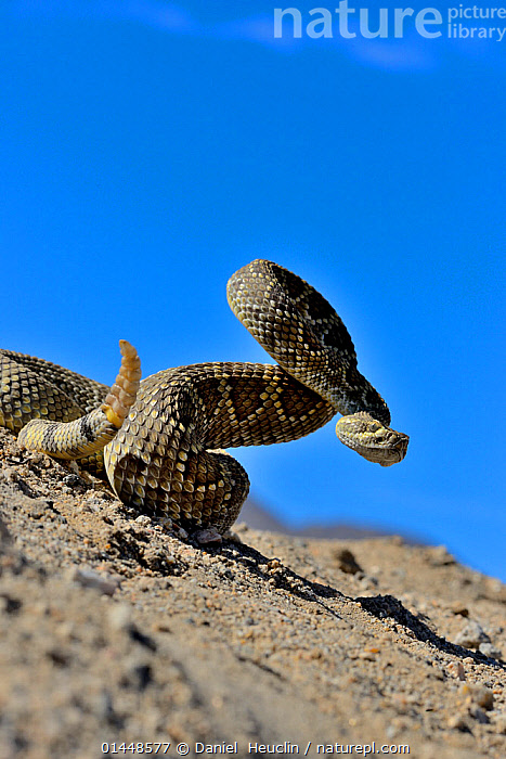 Mojave rattlesnake (Crotalus scutulatus) Mojave desert, California, June.  ,  catalogue6,Animal,Vertebrate,Reptile,Squamate,Viper,Rattlesnake,Mojave rattlesnake,Animalia,Animal,Wildlife,Vertebrate,Chordate,Reptilia,Reptile,Squamata,Squamate,Viperidae,Viper,Viperid snakes,Snake,Crotalus,Rattlesnake,Rattler,Pitviper,Pit viper,Crotalus scutulatus,Mojave rattlesnake,Caudisona scutulata,Crotalus confluentus kellyi,Crotalus scutulatus scutulatus,Danger,Motion,Active,Movement,Threat,Menace,Menaces,Menacing,Threatening,Threats,Colour,Brown,No One,Nobody,Dry,Dried,Arid,Aridity,Parched,Scorched,Pattern,Patterned,Patterns,Americas,North America,USA,Western USA,Southwest US,California,Copy Space,Vertical,Low Angle View,Scale,Animal Scale,Scaly,Tail,Desert,Deserts,Outdoors,Open Air,Outside,Day,Habitat,Negative space,Coiled,Curled up,Animal marking,Mojave Desert,Venomous  ,  Daniel  Heuclin